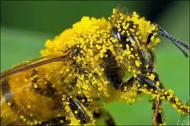 Bee With Pollen Photo